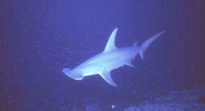 Straits of Tiran Hammerhead shark
