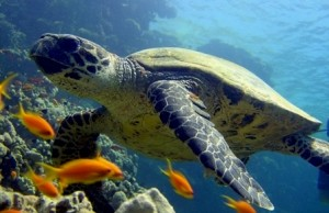 Straits of Tiran turtle